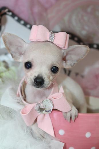 Elegant Teacup Chihuahua